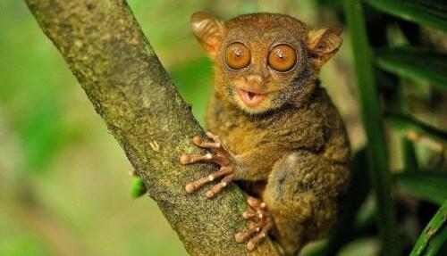 Philippines-tarsier-e1456416460745