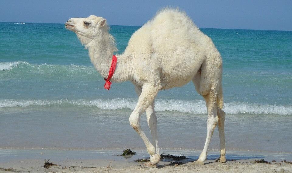Tunisie-chameau-e1456760504704