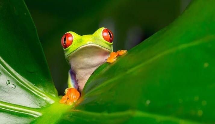 Costa-Rica-grenouille-e1456220049936